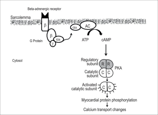The activation of the beta-adrenergic system, by means of the beta receptor,leads to the stimulation of the G protein, via alpha subunit, thusactivating AC and promoting the transformation of ATP into cAMP. The latteralters the conformation of PKA, releasing and stimulating the PKA catalyticsubunit, which triggers the phosphorylation of different proteins involvedin calcium transport. AC: adenyl cyclase; cAMP: 3'. 5' cyclic adenosinemonophosphate; ATP: adenosine triphosphate; PKA: protein kinase A.