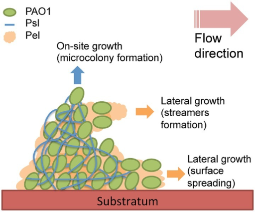 Schematic of P. aeruginosa streamer formation, in which Psl forms the surface-attached streamer head and Pel forms the streamer tail. Psl acts as stiff wires that build up the biofilm architecture and support on-site growth, such as the enlargement of microcolonies, whereas Pel acts as a spreader and filler important for expansion during the later stages of biofilm development.