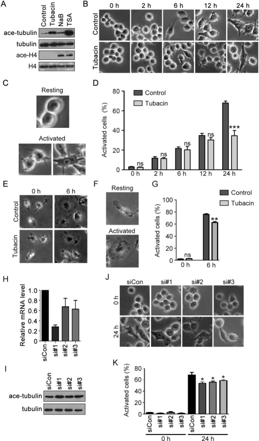 HDAC6 activity is important for LPS-induced macrophage activation.(A) RAW264.7 cells were treated with tubacin (1 µM), NaB (500 µM) or TSA (5 µM) for 4 hours. Cell lysates were then immunoblotted with antibodies against acetylated α-tubulin, α-tubulin, acetylated histone H4, and histone H4. (B) RAW264.7 cells were treated with tubacin (1 µM) for 4 hours and then stimulated with LPS (300 ng/ml) for 0, 2, 6, 12, and 24 hours. (C) Representative images of resting and activated macrophages. (D) Experiments were performed as in panel B, and the percentage of activated cells was analyzed. (E) Primary BMMs were treated with tubacin (1 µM) for 4 hours and then stimulated with LPS (300 ng/ml) for 0 and 6 hours. (F) Representative images of resting and activated BMMs. (G) Experiments were performed as in panel E, and the percentage of activated BMMs was analyzed. (H) Quantitative RT-PCR analysis of relative HDAC6 mRNA level in RAW264.7 cells transfected with control or mouse HDAC6 siRNAs for 36 hours. (I) Immunoblotting analysis of α-tubulin and acetylated α-tubulin in RAW264.7 cells transfected with control or mouse HDAC6 siRNAs for 72 hours. (J) RAW264.7 cells transfected with control or mouse HDAC6 siRNAs for 72 hours were stimulated with LPS (300 ng/ml) for 0 and 24 hours. (K) Experiments were performed as in panel J, and the percentage of activated cells was analyzed. ***, p<0.001; **, p<0.01; *, p<0.05; ns, not significant (p≥0.05).