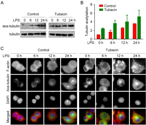 Inhibition of HDAC6 enhances LPS-induced microtubule acetylation during macrophage activation.(A) RAW264.7 cells were treated with tubacin for 4 hours and stimulated with LPS for the indicated time. Acetylated α-tubulin and total α-tubulin were then analyzed by immunoblotting. (B) Experiments were performed as in panel A, and the level of tubulin acetylation was quantified and normalized to the 0-hour LPS stimulation of the control group. (C) RAW264.7 cells were treated with tubacin for 4 hours and stimulated with LPS for the indicated time. F-actin (red), acetylated α-tubulin (green), and nuclei (blue) were then stained, and images were captured with a laser scanning confocal microscope.