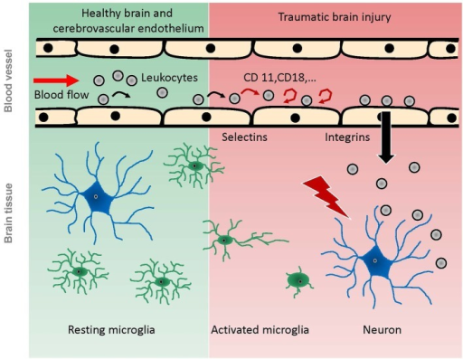 Scheme of pathophysiological reactions of leukocytes and microglia after traumatic brain injury as demonstrated by in vivo experiments. Under physiological conditions (green background), leukocytes pass the cerebral microcirculation in undisturbed blood flow, while some of them occasionally role on the endothelium. Microglia have a ramified shape and continuously scan the brain parenchyma with their processes. Following TBI (red background), the intravascular leukocytes start rolling and adhering to the endothelium, mediated by selectins and integrins respectively. Finally, they migrate into the damaged tissue. Microglia become activated by brain trauma, extend their processes towards the site of injury, and finally migrate towards the injury, taking up an amoeboid shape.