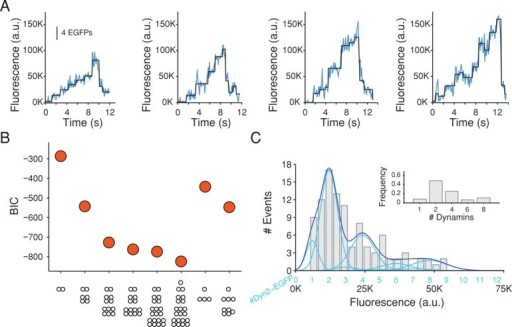 Stepwise recruitment of dynamin during the formation of coated pits detected with single-molecule sensitivity. (A) Representative plots of fluorescence intensity traces of dynamin2-EGFP recruited to four assembling coated pits in SUM-dyn2 cells imaged with TIRF microscopy every 110 ms with an exposure of 60 ms/frame; fit (black) obtained by applying a step-fitting function to estimate the average fluorescence intensity and dwell time of the steps. (B) Value of the BIC used to determine the best fit between the experimental data from 104 recruitment steps from 23 coated pits in five cells and the stepwise recruitment models of dynamin indicated at the bottom. The quality of the fit increases with more-negative BIC values. The dynamin2 substitution by dynamin2-EGFP was kept as a fixed parameter corresponding to the value estimated by Western blot analysis (98%). The best fit corresponds to a recruitment model of 8% monomers, 49% dimers, 26% tetramers, 6% hexamers, and 11% octamers. (C) Histogram of the background-corrected fluorescence intensity of the steps (gray) used to calculate the data in B; the continuous trace (dark blue) is the sum of the relative contributions calculated by the presence of one, two, three, four, and so on dynamin2-EGFP molecules (light blue; centered at 6050 ± 2200, 12,100 ± 4400, 18,150 ± 6600, 24,200 ± 8800, etc.) according to the best model presented in B. Inset, preferential recruitment of dynamin2 dimers (49%) and the less frequent recruitment of dynamin2 monomers (8%), tetramers (26%), hexamers (6%), and octamers (11%).