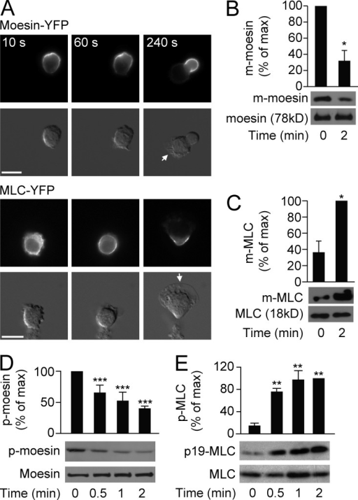 Differential activation of moesin and MLC. (A) HL60 cells (n > 30 per group) expressing moesin-YFP or MLC-YFP were stimulated for the indicated times with 100 nM fMLF and visualized by fluorescence (top rows) and differential interference contrast (DIC) microscopy (bottom rows). Arrows indicate leading edges. Bars, 10 µm. (B and C) HL60 cells were left untreated or were stimulated with 100 nM fMLF, and quantification of membrane-bound (m-) moesin (B) or m-MLC (C) was evaluated by immunoblot. Levels were quantitated and presented relative to the maximum value. *, P < 0.05 compared with the value at basal (Student's t test). (D and E) HL60 cells were stimulated for the indicated times with 100 nM fMLF, and phosphorylated (p-) moesin (D) or p-MLC (E) versus total protein levels were assessed by immunoblot. Graph shows quantification of p-moesin and p-MLC, presented relative to maximum activation of p-moesin at 0 min or p-MLC at 2 min. **, P < 0.01; ***, P < 0.001 compared with the value at 0 min (Student's t test). Data are representative of (A and blots in B–E) or are compiled from three independent experiments (graphs in B–E; mean and SEM in B–E).