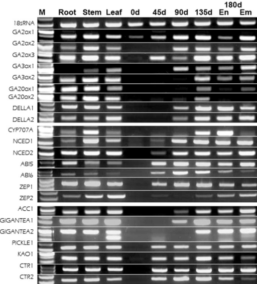 Semi-quantitative PCR analysis of 23 selected genes from the American ginseng seeds libraries.M: maker; 0d, 45d, 90d, 135d, and 180d: seed stratification period; Em: embryo; En: endosperm; root, stem, and leaf as control tissues.