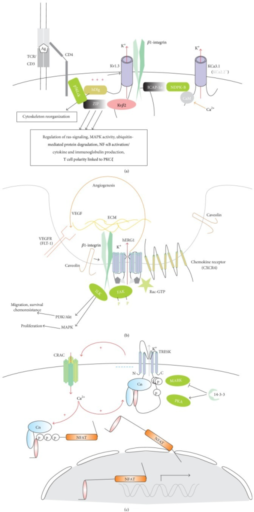 "K+ channels and their partners in the plasma membrane of T-cells. (a) Kv1.3 channels are activated and inactivated by the membrane depolarization. Its cytosolic N terminus binds to auxiliary, NADP binding β-subunit Kvβ2, possessing oxidoreductase activity, and sensing cell metabolism and redox state. It also mediates trafficking of members of Kv1 subfamily to plasma membrane. Beta-subunit via multifunctional adapter protein ZIP is linked to p56Lck, phosphotyrosine kinase in a phosphotyrosine-independent way. ZIP regulates a variety of intracellular processes as indicated. In turn, p56Lck is connected via PDZ-domain (hDlg) to the last three residues at the C-terminus; binding of hDlg to a kinesin motor protein (GAKIN) and provoking cortical cytoskeleton reorganization. Open state Kv1.3 conformation favors its binding to β1-integrin and the latter via integrin cytoplasmic domain associated protein (ICAP1-1a) and nucleoside diphosphate kinase NDPK-B (activating KCa3.1 via phosphorylation) communicates to intermediate conductance Ca2+-activated K+ channel KCa3.1 (substituted for small conductance KCa2.2 in Jurkat cells). Kv1.3 can promote clustering of all aforementioned interacting proteins plus CD4 in the immunological synapse. A colocalization of Kv1.3, KCa3.1, and CRAC channels is essential for synapse stability, via local K+ (K+ accumulation in the cleft, membrane depolarization) and Ca2+ signaling (for a further discussion, see [127]). Linking of Kv1.3 to integrin allows a bidirectional signaling, when K+ channel gating transmits to cell adhesion (inside-out signaling) and, vice versa, integrin-mediated external signal (outside-in) may be traduced to intracellular events via Kv1.3 and its interacting proteins. (b) hERG1 channels physically interact with β1-integrin receptors and are concentrated in caveolas, a type of lipid rafts, enriched of caveolins. Binary complexes of hERG1 with β1-integrin are typical for cancer cells. ""Outside-in"" signaling: hERG1 activation links β1-integrin adhesion to fibronectin (in the extracellular matrix, ECM) to the tyrosine phosphorylation of FAK and activation of small GTPase (Rac); both are coprecipitated with the channel protein. Caveolin association with β1-integrin promotes the channel activation [132]. FAK and ILK are primary targets for integrin-mediated cell adhesion, which transmits to the activation of MAPK, PI3K, and small GTPases. In leukemias trimolecular complexes can be also formed. In AML the third partner may be VEGF receptor, with an autocrine (hERG1-dependent) mechanism via VEGF secretion [133]. In ALL cells, hERG1/β1-integrin complex interacts with 7-TM domain (CXCR4, chemokine) receptors, stimulating signaling via ILK to Akt. Activation of this complex can be achieved via integrin engagement or CXCR4 chemical activation; ILK activity is suppressed by hERG1 specific block [134]. FAK (focal adhesion kinase), PI3K (phosphoinositide-3 kinase), VEGF (vascular endothelial growth factor), ILK (integrin linked kinase), and Akt (protein kinase B). (c) Tandem-pore domain K+ channel TRESK is activated by dephosphorylation by calcineurin (Cn) and suppressed by a phosphorylation of certain serine residues within the cytosolic loop between transmembrane domains II and III by protein kinase A (PKA) and a second kinase, likewise MARK, or microtubule affinity-regulating kinase [135]. Cn is activated either directly by Ca2+, Ca2+-CaM, or Ca2+-CaM-dependent kinase. Ca2+ influx in T-cells is mainly mediated by CRAC. Thus, TRESK and CRAC potentiate the activity of each other: TRESK generates driving force for Ca2+ influx by CRAC via membrane hyperpolarization, and CRAC shifts TRESK phosphorylation status to the dephosphorylated active form via Ca2+-Cn. Sustained increase of Ca2+ via Cn dephosphorylates NFAT and allows its entrance through a nuclear pore, hence activating genes transcription. Both TRESK and NFAT contain a characteristic Cn-docking site (PQIVID for TRESK and PxIxIT for NFAT), thus coupling the Ca2+ signal positive feedback loop to genes expression via Cn activity. 14-3-3 protein docking to the phosphorylated S264 protects it from the dephosphorylation; additionally, 14-3-3 protein inhibits the second kinase."