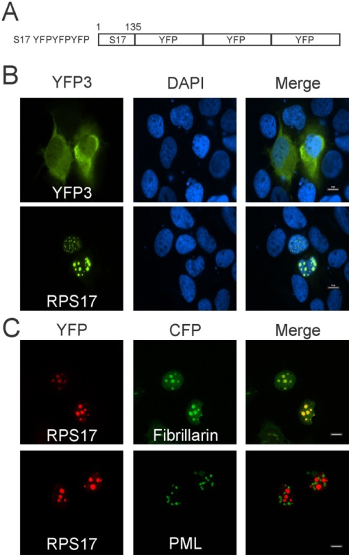 Subcellular localization of RPS17 attached to triple yellow fluorescent protein (eYFP).(A) Schematic depiction of RPS17 as a carboxy-terminal fusion to RPS17. (B) RPS17 was capable of trafficking triple YFP to punctate spots within the nucleus as observed via confocal microscopy. Triple eYFP alone was predominantly cytoplasmic (Top) whereas RPS17 triple eYFP was in punctate spots within the nucleus (Bottom). (C) RPS17 triple eYFP is located within nucleoli. RPS17 triple eYFP colocalized with fibrillarin CFP (nucleolar marker) but not promyelocytic leukemia (PML) protein (PML body marker). Scale bars on merged images represent 10 μm.
