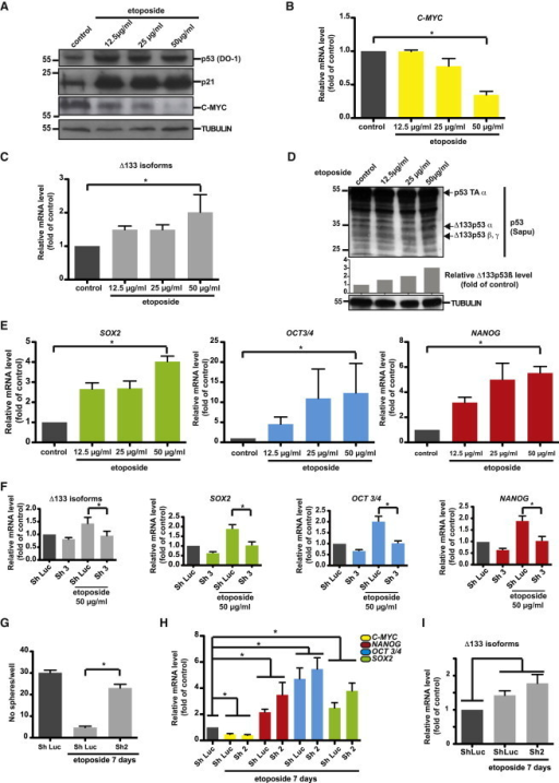 Chemotherapy Treatment of MCF-7 Breast Cancer Cells Upregulates Δ133p53 Isoform Expression and Activates Key Pluripotency Genes(A) Western blot analysis of p53, p21, and C-MYC expression in MCF-7 cells after treatment with increasing doses of etoposide for 16 hr (DO1 antibody).(B) The qRT-PCR analysis of C-MYC expression in MCF-7 cells upon treatment with increasing doses of etoposide (n = 4 independent experiments).(C) The qRT-PCR analysis of Δ133p53 isoform expression in MCF-7 cells after etoposide treatment (n = 4 independent experiments).(D) Western blot analysis of p53 isoform expression in MCF-7 cells after etoposide treatment (Sapu antibody).(E) The qRT-PCR analysis of SOX2, OCT3/4, and NANOG expression in MCF-7 cells upon treatment with increasing doses of etoposide (n = 4 independent experiments).(F) The qRT-PCR analysis of Δ133p53, SOX2, OCT3/4, and NANOG expression in control and MCF-7 cells transduced with Sh3 upon etoposide treatment (n = 4 independent experiments).(G) Mammosphere quantification in MCF-7 cells transduced with Sh2 and treated with 50 ng/ml/day etoposide for 7 days (n = 3 independent experiments).(H and I) The qRT-PCR analysis of C-MYC, NANOG, OCT3/4, and SOX2 (H) and Δ133p53 isoform (I) expression in MCF-7 cells transduced with Sh2 and treated with 50 ng/ml/day etoposide for 7 days (n = 4 independent experiments).