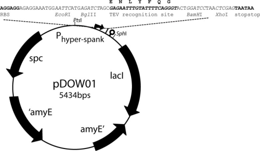 Map of the amyE integration vector pDOW01 with BglBrick cloning site, EcoRI, BglII, BamHI and XhoI indicated in italics.Indicated in bold are the RBS (AGGAGG), the TEV-protease recognition site (GAGAATTTGTATTTTCAGGGT; amino acid sequence ENLYFQG) and the two stopcodons (TAATAA).