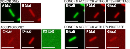 Fluorescence intensities of single cells for the FRET-pair GFP-tagRFP.Microscope excitation and emission filter settings are shown between brackets (d = donor, a = acceptor). For donor the filters (excitation, emission) were: GFP, GFP; for acceptor: mCherry, mCherry; and for FRET the filters were: GFP, mCherry. In all cases a GFP/mCherry polychroic mirror was used (400–470, 490–570, 580–630 and 640–730 nm range). A and B are cells where only donor fluorophore is present (GFP). C, D and D2 are cells where only acceptor fluorophore is present (tagRFP). E, F and G (upper panel) are cells where donor-acceptor fluorophore (GFP-tagRFP) are coupled and TEV-protease is not induced. E, F and G (lower panel) are cells where donor-acceptor (GFP-tagRFP) are uncoupled by induction of TEV-protease. The same signal scaling is used for all images. Note that the signals are false colored (GFP: green, tagRFP: red). Scale bar is 5 μm.