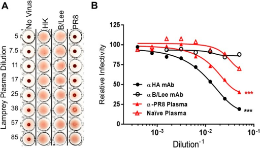 Lamprey VLRBs bind to hemagglutinin and neutralize infection.(A) Plasma from PR8-immunized lamprey inhibits PR8 hemagglutination at a 1:30 plasma dilution, but did not inhibit hemagglutination by either HK or B/Lee at any dilution. Data are representative of two experiments. (B) MDCK cells were infected with an MOI 0.07 of PR8 in the presence of titrated mAb supernatants (H17L2 against PR8 or control 1.2F4 against influenza B/Lee) or lamprey plasma (L9 vs Naïve). After 8 hr cells were fixed, double-stained with anti-HA and anti-NP Igs. Cells positive for either HA or NP by flow cytometry were considered infected. Data from four independent experiments were normalized to control for different percentages of infection between experiments and fit to a variable dose–response curve. The best-fit, calculated infectious dose 50 (ID50) was significantly lower for both the immunized plasma and PR8 specific Ig (***p < 0.001).DOI:http://dx.doi.org/10.7554/eLife.07467.009