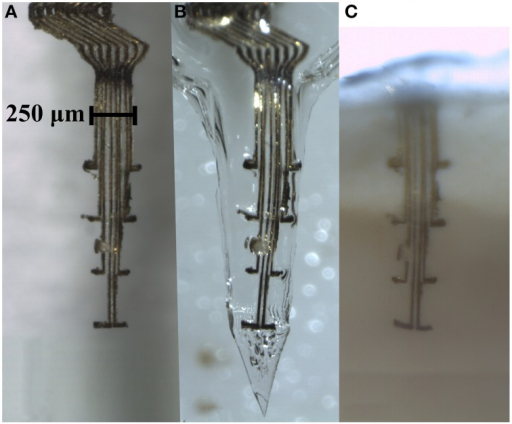 Electrode array comprising eight thin (4 × 10 μm) gold leads insulated with Parylene C, except for an area (10 × 10 μm) at the tip of the 100 μm long protrusions. (A) An electrode array before embedding into a gelatin based matrix. (B) The same electrode array after being embedded into a gelatin matrix shaped as a needle, and in (C), same electrode array inside a section of clarified brain tissue 3 weeks post implantation. Note that the conformation of the electrode array is well preserved inside the gelatin matrix as well as after implantation in the brain.