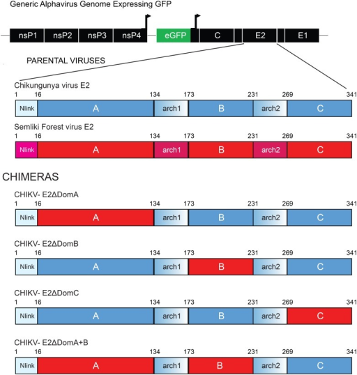 Genome organization of chimeric CHIKV/SFV viruses.Genome organization of chimeric CHIKV/SFV viruses. The different domains of E2 from SFV were inserted into the CHIKV genome in the corresponding position in individual constructs using a PCR based cloning approach. Each virus expressed the GFP protein under control of a second sub-genomic promoter. Red portions of the E2 represent genetic sequences of SFV whereas CHIKV is shown in blue.