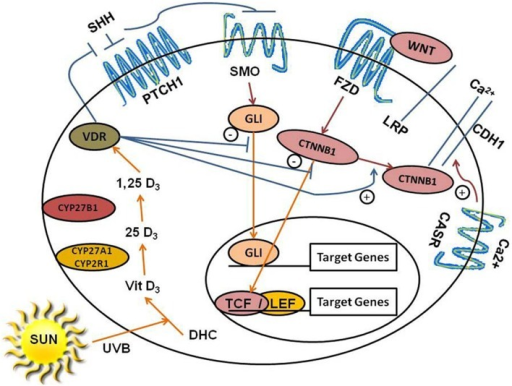 Regulation of HH and Wnt/β-catenin signaling by 1,25(OH)2D/VDR and calcium/Casr. The keratinocyte expresses VDR and is capable of making its own 1,25(OH)2D3 from the vitamin D3 produced from 7-dehydrocholesterol (DHC) under the influence of UVB, as it has both Cyp27a1/Cyp2r1 (which convert vitamin D3 to 25OHD3) and Cyp27b1 [which converts 25OHD3 to 1,25(OH)2D3]. The keratinocyte also expresses the calcium sensing receptor Casr required for calcium induced differentiation. 1,25(OH)2D/VDR suppresses Shh and Gli1 expression, inhibiting the HH pathway in keratinocytes. 1,25(OH)2D/VDR binds CTNNB1(β-catenin) and increases CDH1(E-cadherin) levels in the plasma membrane reducing the amount of β-catenin available for binding to TCF/LEF in the nucleus limiting its transcriptional activity. Calcium acting through its receptor is required for the formation of the E-cadherin/catenin complex in the plasma membrane. In combination these actions reduce the proliferative actions of Shh and Wnt/β-catenin signaling in keratinocytes, limiting their ability to induce tumors in the skin.