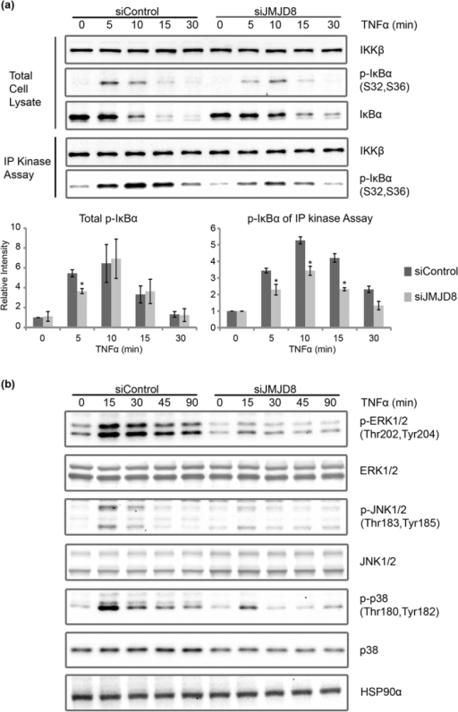 JMJD8 is required for TNF-induced IKK kinase activity.(a) Control and JMJD8 knockdown HEK293T cells were induced with 10 ng/ml of TNFα for 0, 5, 10, 15 and 30 minutes. IKK kinase activity was measured with an in vitro kinase assay followed by immunoblotting using the anti-p-IκBα and anti-IKKβ antibodies. Relative intensity of bands were quantified using the Image Lab (BioRad)/ImageJ, were normalized to IKKβ, and shown in relative to 0 minute of siControl (n = 2). (b) Control and JMJD8 knockdown HEK293T cells were induced with 10 ng/ml of TNFα for 0, 15, 30, 45 and 90 minutes. Total cell lysates were prepared and immunoblotted with the indicated antibodies (n = 2). Data represent means ± SD. (*p > 0.05). Full-length blots are presented in Supplementary Figs S5–S8, respectively.