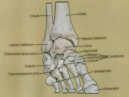 Tarsal Joint Related Keywords - Tarsal Joint Long Tail ...