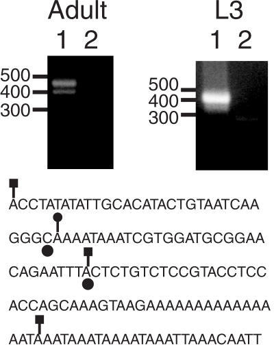 5′ RACE confirms the location of transcription intiation in HeT-A. The two panels show ethidium bromide stained agarose gels of 5′ RACE reactions using the HeT-A outer and inner primers HR1 and HR2. The sources of RNA were Oregon-R adults or third instar larvae, as indicated. Lanes 1 and 2 correspond to the experimental and control lanes, respectively. The migration of DNA standards (in bp) is indicated to the left of each panel. Below the panels is a sequence corresponding to the largest cloned RACE product obtained from adult RNA. Positions 1–92 and 111–137 are 91/92 and 27/27 matches, respectively, to positions 6999–7090 and 7136–7162 in HeT-A 23Zn (accession no. U06920). Filled circles below two bases indicate the previously identified transcription initiation sites (18). Lines ending in squares indicate the sites corresponding to three RACE products obtained from adult RNA and a line ending in a circle indicates the site corresponding to the major RACE product from L3 RNA.