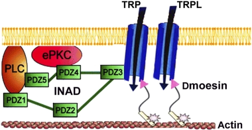 A scheme that summarizes the subcellular organization of Dmoesin and the major signaling proteins in the rhabdomeric membrane. TRP anchors the INAD signaling complex, which includes PLC and eyePKC (ePKC), to the plasma membrane via the PDZ3 domain of INAD. The NH2-terminal region of Dmoesin molecules (arrowheads) bind either directly or through a PDZ adaptor protein to the TRP and TRPL channels, whereas the COOH-terminal region is bound to the actin cytoskeleton. The phosphorylated site of T559 is indicated by an asterisk.