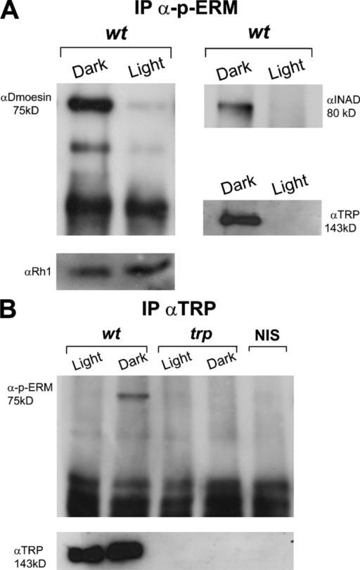 Light- and phosphorylation-dependent interactions between Dmoesin and the TRP channel. (A) Immunoprecipitation of D. melanogaster head extracts using α-phospho-ERM. Extracts were prepared from fly heads of dark-raised and illuminated WT flies and protein complexes were probed with αDmoesin (left) and with αINAD or αTRP (right) in a separate experiment. (bottom) Western blot analysis of the same head extracts probed with the major rhodopsin, αRh1. To detect TRP and INAD proteins in the immune complex, a threefold larger amount of head extracts were used (n = 5). (B) The experiments in A were repeated exactly, except that αTRP was used for the immunoprecipitation from head extracts of WT and trpP343 mutant, and protein complexes were probed with α-phospho-ERM. (bottom) Western blot of the same head extracts probed with αTRP. The two right lanes are Western blots from WT and trpP343 head extract probed with α-phospho-ERM (n = 4).