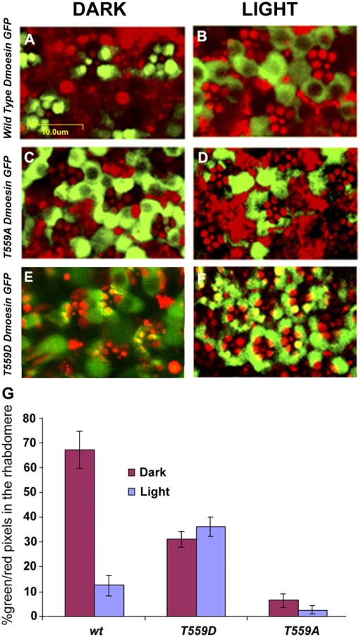 Light- and phosphorylation-dependent movement of Dmoesin from the rhabdomere to the cell body. (A–F) Intracellular distribution of Dmoesin-GFP protein fusions, as observed in confocal micrograph cross sections of living D. melanogaster retinae of the transgenic lines: UAS Dmoesin-WT-GFP (A and B), UAS Dmoesin-T559A -GFP (C and D), and UAS Dmoesin-T559D-GFP (E and F). Green indicates GFP fluorescence. The strong autofluorescence of the rhabdomeres (red) allows localizing Dmoesin distribution with respect to photoreceptor compartments. Dark-raised flies were kept in obscurity (A, C, and E) or submitted to blue light illumination (B, D, and F). In flies expressing Dmoesin-WT-GFP (A and B), the fluorescent protein moves from the rhabdomere and cortical actin regions to the cell body of photoreceptors in response to light. Almost all Dmoesin-T559A-GFP (C and D) proteins accumulate outside of the rhabdomeres, independently of the illumination regime, and a significant fraction of Dmoesin-T559D-GFP (E and F) was observed in the rhabdomeres and cortical actin regions regardless of illumination regime. (G) The histogram plots the ratio of the number of green (GFP) to red (autofluorescence) pixels in the rhabdomere and cortical actin regions, as defined by the area that displays autofluorescence. P < 0.01; n = 20 for each fly strain. The error bars are SEM.