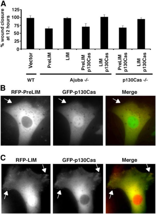 PreLIM Ajuba blocks p130Cas localization to adhesive sites and p130 rescue of migration. (A) Migration rescue experiments. WT, Ajuba −/−, and p130Cas −/− MEFs were transfected with control empty GFP vector, RFP-PreLIM, RFP-LIM, both RFP-PreLIM and GFP-p130Cas, or both RFP-LIM and GFP-p130Cas as indicated. Confluent cell layers were scratch wounded, and videos of wound repair were obtained, as described in Fig. 2 B. Shown is the percent wound closure at 12 h. Multiple wounds were analyzed and the data presented as the mean and the SD about the mean. (B and C) Cells were cotransfected with RFP-PreLIM and GFP-p130Cas (B), or RFP-LIM and GFP-p130Cas (C), and immunofluorescence performed. Arrows identify focal adhesions.