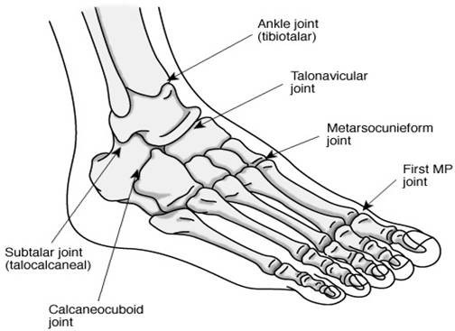 anatomy of the foot and ankle   picture courtesy of all