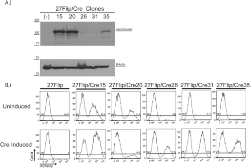 "Sustained OHT-independent flipping of the floxed cassette in 27Flip/Cre20 cells correlates with mer-Cre-mer expression level.A Following stable transfection of 27Flip cells with an mCrem expressing vector, 5 clones expressing various amounts of mCrem were selected. Cells from the clones were lysed and 50 µg of protein of each were run on an 8% SDS-PAGE gel. MCrem was visualized with polyclonal rabbit anti-Cre antibody (1∶2000, Novagen), with β-actin visualized with a polyclonal mouse antibody (1∶40000, Sigma) as a loading control. 27Flip/Cre15 and -20 were designated ""high expressors"", and 27Flip/Cre26, -31, and -35 were designated ""low expressors"". B 27Flip/Cre clones were either left untreated or treated with 1 µM OHT for 48 hours and then allowed to grow in culture for 18 days: all clones were subsequently analyzed by flow cytometry. The 27Flip parental cell line was used as a negative control."