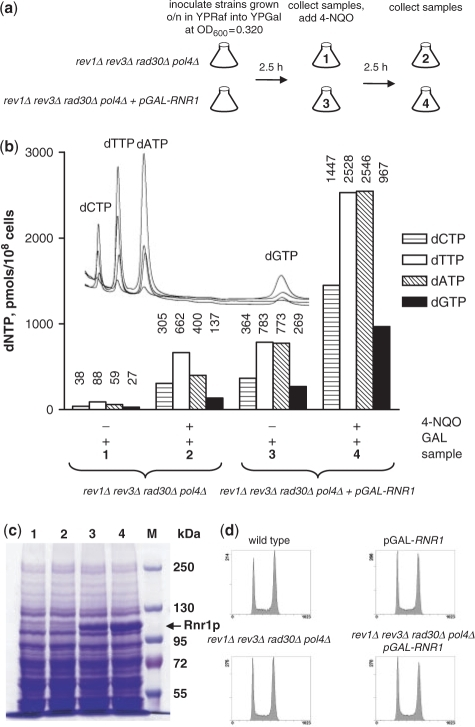 Overexpression of RNR1 efficiently elevates dNTP concentration in yeast strains lacking TLS polymerases. (a) rev1Δ rad30Δ rev3Δ pol4Δ and rev1Δ rad30Δ rev3Δ pol4Δ pGAL-RNR1 strains were incubated in liquid YP media with 2% galactose and treated with 0.2 mg/L 4-NQO as shown in the diagram. (b) Samples (indicated by numbers 1–4) treated as outlined in (a) were used for determination of dNTP pools. The numbers above the bars indicate the amount of the individual dNTP expressed in pmols/108 cells. Four overlaid HPLC chromatograms (raw data, not normalized by the number of cells) are shown on the inset. (c) Samples (indicated by numbers 1–4) treated as outlined in (a) were used for analysis of Rnr1 protein levels by 6% SDS–PAGE. M indicates protein marker lane. (d) The cell cycle progression is not altered in the strains lacking TLS polymerases. wild-type, pGAL-RNR1, rev1Δ rad30Δ rev3Δ pol4Δ and rev1Δ rad30Δ rev3Δ pol4Δ pGAL-RNR1 strains were inoculated in liquid YPD and incubated overnight at 30°C. Next morning cultures were diluted in fresh YPD to an OD600 of 0.1 and grown at 30°C. Samples were collected after 4.5 h and prepared for flow-cytometric analysis.