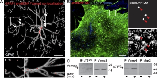 Vesicles containing pro-BDNF–p75NTR express the Vamp2 component of the SNARE core complex for vesicle fusion. (A) Colocalization between GFAP, pro-BDNF, and Vamp2 immunoreactivity in astrocytes 10 min after TBS. Colocalization signal (arrowheads) is shown at the site of astrocytic contact with a neuron (box and inset 1) and astrocytic processes (box and inset 2). Bar, 20 μm. (B) Immunocytochemistry showing colocalization between pro-BDNF–QDs and Vamp2 in astrocytes transfected with p75-GFP. Right panels depict QD/Vamp2 colocalization (arrowheads) in a selected astrocytic area (boxed area). Bar, 2 μm. (C) Western blot showing p75NTR and Vamp2 expression in endocytic vesicles immunopurified (IP) by magnetic beads coated with α-p75NTR, α-Vamp2, or α-Map2 from astrocytes untreated or treated with BDNF (mix).