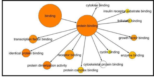 Protein binding node. The protein binding node is connected to 12 other nodes. The protein binding node is the most significant node because it encompasses 331 genes. Of the 468 genes in the PCOS molecular function network, 339 (72.4%) are involved in protein binding and are thereby linked to other protein nodes such as the transcription factors (34 genes), identical proteins (37 genes), protein dimerization (35 genes), receptors (50 genes), protein complexes (13 genes), cyclins (2 genes), enzymes (24 genes), growth factors (13 genes), follistatins (3 genes), and insulin receptor substrates (3 genes).