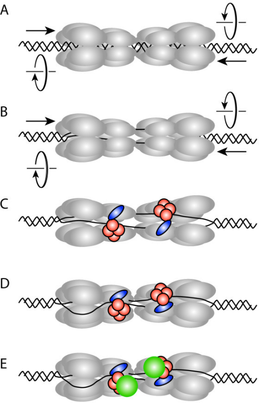 Model for the initial assembly of the archaeal replisome based on recent advances in the eukaryotic DNA replication field (see [8,9]). (a) A double hexamer of MCM (gray) is loaded on double-stranded DNA at an archaeal replication origin. (b) The two individual hexamers are held together, so that, instead of moving apart, they will pump DNA into the central cavity of the assembly. If the pumping has a defined handedness, DNA will be unwound in the centre of the double hexamer. (c) The GINS complex (orange) in conjunction with RecJdbh or GAN (blue) stabilizes an open form of the hexameric MCM and allows extrusion of one DNA strand. (d) Resealing the MCM hexamer traps the displaced strand between the outside of MCM and the GINS assembly. (e) GINS recruits DNA primase (green).