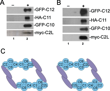 "Mammalian TRAPP forms oligomers. (A) HEK293T cells were cotransfected with FLAG-C2L/myc-C2L, V5-C10/GFP-C10, V5-C11/HA-C11, or V5-C12/GFP-C12. Lysates were treated with preimmune rabbit serum (lane 1), anti–FLAG (for the C2L transfections), or anti–V5 (for the C10, C11, and C12 transfections) IgG and then probed with anti–myc (for the C2L transfection), anti–GFP (for the C10 and C12 transfections), or anti–HA (for the C11 transfection) IgG. (B) The lysates from (A) were fractionated by gel filtration chromatography. The high-molecular-weight TRAPP-containing fractions were pooled and immunoprecipitated and probed as in (A). (C) A model for the architecture of mammalian TRAPP built from yeast two-hybrid and coimmunoprecipitation data. Subunits shaded in blue are arranged based on the previously published architecture of the subcomplex (Kim et al., 2006). The high-molecular-weight subunits (C8–C12) are represented by a single mauve oval. Given interactions between high–molecular-weight components with proteins at both ends of the TRAPP ""core,"" a network of high-molecular-weight subunit interactions among themselves, and oligomerization of the complex as indicated in (A) and (B), two TRAPP ""cores"" could be bound via high-molecular-weight subunit interactions in trans. The two models differ with respect to the orientation of the second ""core."" See the text for details."