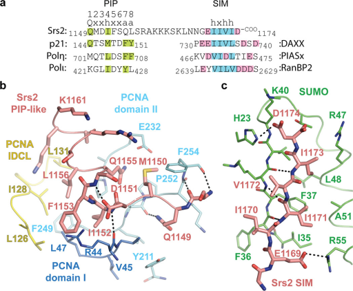 Srs2 PIP-like motif and SIM interactions with PCNA and SUMOa, Sequence alignment for Srs2 CTD (amino acids 1149–1174) above p21, Polη and Polι PIP-box motifs and DAXX, PIASx and RanBP2 SIMs. PIP-box consensus motif numbered above Srs2 (Q=glutamine, x=any amino acid, h=hydrophobic, a=aromatic). Amino acids similar to consensus are highlighted (green). Hydrophobic and acidic residues highlighted blue and pink for SIMs. b, Srs2 PIP-like motif (pink), PCNA colored as in Fig 2. PCNA, Srs2 and select amino acids labeled by numbered single letter code. Hydrogen bonds as dashed lines. c, Srs2 SIM (pink) and SUMO (green) as in b.