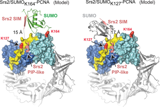 Models for Srs2/SUMO-PCNA complexesModels for SUMO conformations to enable simultaneous interaction with the SIM and PIP-like motif when attached to PCNA K164 (left) or K127 (right). Models generated required a simple rotation of SUMO at the isopeptide linkage for SUMOK164-PCNA and a slight rotation and translation of SUMO from a symmetry related complex to mimic SUMOK127-PCNA (Supplemental Fig. 13).