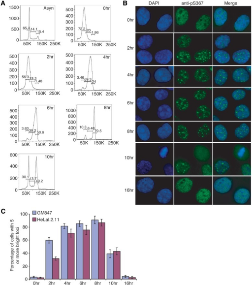 Phosphorylated (pS367)TRF1 forms distinct non-telomeric foci in a cell cycle regulated manner, enriched in S and G2 phases. (A) FACS analysis of synchronized HeLaI.2.11 cells. y-axis, cell numbers; x-axis, relative DNA content on the basis of staining with propidium iodine. Asyn, asynchronous population; 0–10 h, cells were released for 0–10 h from a double thymidine block. (B) Indirect IF using anti-pS367 antibody was performed on GM847 cells released for 0–16 h from a double thymidine block. Cell nuclei were stained with DAPI shown in blue. (C) Quantification of percentage of GM847 and HeLaI.2.11 cells exhibiting five or more phosphorylated (pS367)TRF1-containing foci. For each of the indicated time-points post-release from a double thymidine block, a total of at least 1500 cells from three independent experiments were scored in blind for both GM847 and HeLaI.2.11 cells. Standard deviations from three independent experiments are indicated.
