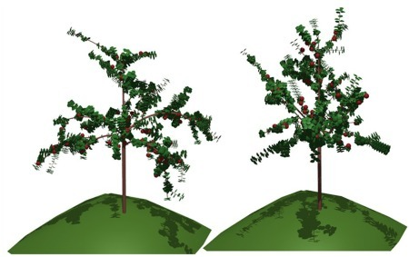 The MAppleT model on L-Py: with (left) and without (right) computation of branch bending using mechanical simulation.
