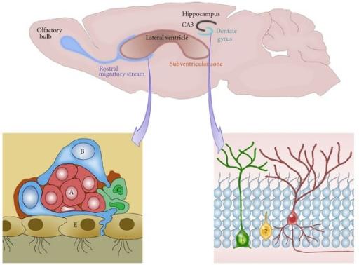 Neurogenesis In The Adult Brain 2