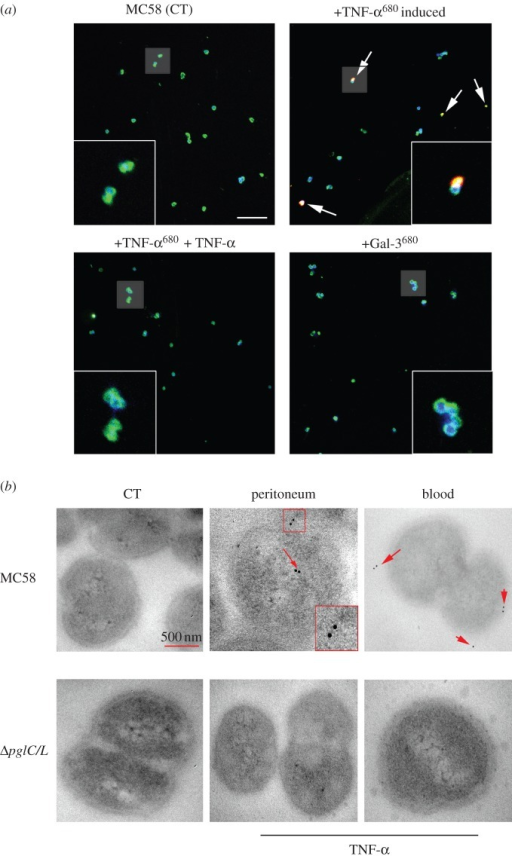 Confocal images of Nm uptake of human cytokines. (a) Detection of intracellular TNF-α into the meningococcal cytoplasm. Nm live cells were induced with Atto680-labelled recombinant proteins (TNF-α or Galactin-3). Cells were stained with anti-PorA monoclonal antibody and DPI. Merged images depict co-localization of Atto680 (red) and monoclonal anti-PorA antibody (green), DPI (blue) and +TNF-α680 induced (yellow). Non-induced Nm MC58 (CT) or Gal-3680 labelled was used as negative control. In addition, the uptake of labelled TNF-α680 was inhibited by using non-labelled TNF-α. Insets shown are at 2.5 times magnification. Images are single sections (300 nm) and data were collected from different fluorophores in separate channels. (b) Transmission electron micrograph of Nm TNF-α uptake in mice peritoneum and blood. TEM macrograph analysis of TNF-α uptake by Nm wild-type strain and ΔpglC/L mutant isolated from peritoneum and blood at 4 h post-infected mice. Treated samples with only secondary antibody were used as negative control (CT). Wild-type MC58 strain shows accumulation of gold particles inside or on the surface of the bacteria (red arrow). The cells shown in this image are representative of approximately 66% and 50% of the analysed bacterial population in peritoneum and blood, respectively. No uptake was observed in images of TNF-α ΔpglC/L mutants, indicating that uptake of cytokines requires the glycosylated form of PilE protein. The scale bar represents 500 nm and the insets represent two times magnification.