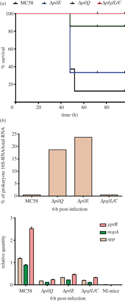 CD46 transgenic mouse model challenged with MC58, ΔpilQ, ΔpilE and ΔpglC/L mutants. (a) CD46 transgenic mice were intraperitoneally challenged (eight mice for each bacterial strain) with piliated Nm strain MC58 and isogenic mutant strains, and survival rates were assessed. The mortality rates were strain dependent. More apparent lethal disease occurred in mice that were challenged with MC58 and ΔpilE, whereas transgenic mice challenged with isogenic mutants (i.e. ΔpglC/L or ΔpilQ) survived significantly longer upon bacterial injection. (b) Relative quantification of app, mspA and pptB virulence genes. Blood samples were collected from mice infected with wt MC58 or the isogenic mutants at 6 h. The expression of examined genes in these samples was significantly higher in mice infected with the Nm MC58 strain than in mice infected with the isogenic mutant strains (lower panel). Non-infected (NI) mice were considered as negative control.