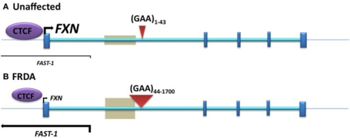 The position of DNA methylation, hydroxymethylation, and CTCF binding sites within the FXN gene. (A) Unaffected: normal-sized GAA repeat (B) FRDA: GAA repeat expansion. Gray boxes represent regions of disease-associated DNA methylation and hydroxymethylation. Arrow marks represent the directions and levels of transcription for FXN and FAST-1. Blue bars represent exons of the FXN gene. Red triangles indicate GAA repeats within intron 1 of the FXN gene.