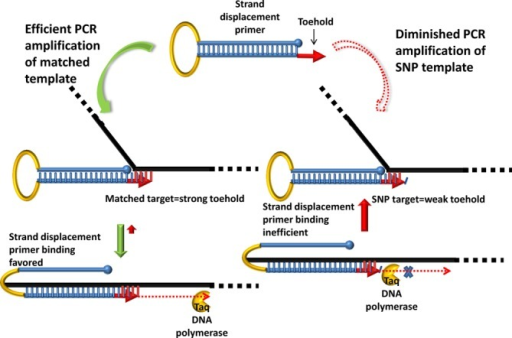 Schematic of toehold-dependent hairpin (THP) primers for enhanced SNP distinction. Most of the target-binding sequence of the hairpin primer is sequestered by hybridization to the complementary sequence in the stem (shown in blue) leaving a short target-specific single stranded 'toehold' (red arrow) at the 3′-end. Binding of the toehold to its complementary target sequence initiates strand displacement leading to primer unfolding and stabilization of the primer:template duplex by extended hybridization. Concomitant initiation of polymerization from the 3′-end by the DNA polymerase leads to template amplification. The toehold hybridization efficiency (and the ensuing primer strand displacement) is designed to be significantly impaired by even a single mismatched nucleotide resulting in primer destabilization and significantly diminished amplification.