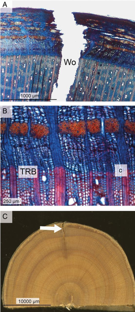 Wound reactions of dormant A. palmatum trees after being stored for 3 weeks in a climate chamber at a temperature of 4 °C. (A) Xylem and bark surrounding the wound (Wo). The virtual absence of Cd is characteristic for this cold treatment. (B) Details of the cambial zone near the wound margin, showing the TRB and dormant cambium (c). (C) Transverse section through the wood and bark surrounding the wound (arrowed). Compartmentalization of the wound by inhibitory compounds is virtually absent.