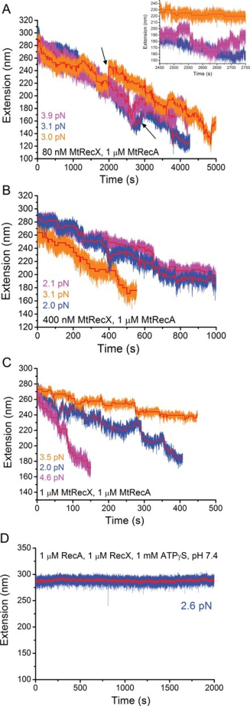 De-polymerization of preformed MtRecA filaments at different MtRecX concentrations. (A). Time traces of the extension obtained on three independent preformed MtRecA filaments formed on three ssDNA tethers (indicated by different colors) after addition of 80 nM MtRecX at forces of 2 - 4 pN. Inset shows steps in zoom-in time traces. (B) and (C) show extension time traces of three independent preformed MtRecA filaments at 400 nM MtRecX (B) and 1 μM MtRecX (C) at forces of 2–4 pN. The red lines in (A)–(C) show stepwise de-polymerization and re-polymerization obtained from a step finding algorithm (Method S3). (D) A long extension time trace of a preformed MtRecA in 1 μM MtRecX, 1 μM MtRecA, 1 mM ATPγS (other conditions remained the same), where no net de-polymerization of MtRecA filament occurs over the experimental time scale.