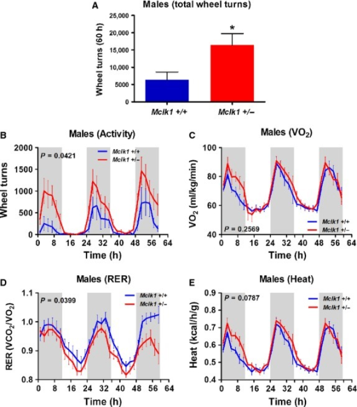 "Increased voluntary running wheel activity and metabolic rate inMclk1+/− males. Total number of wheel turnsaccomplished by 3‐month‐old Mclk1+/+and Mclk1+/− mice (n =10–12) during a 60 h period with a 12 h light and 12 h dark cycle. (A). Bars represent means± SEM and a value of P < 0.05 was considered significant. Voluntaryactivity on running wheels was continuously recorded throughout the 60 h period (B). Metabolic rateparameters were also assessed by indirect calorimetry. The shaded areas demarcate the dark phases(from 7:00 pm to 7:00 am). Time ""0"" is 7:00 am. Changes in oxygen consumption rate(C), respiratory exchange ratio (D) and heat production (E) and were reported. All points representmeans ± SEM over 2 h intervals. A value of P < 0.05 for the genotypeeffect was considered significant."