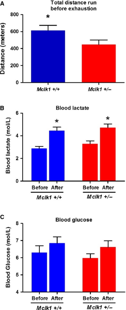 Decreased exercise capacity in Mclk1+/− malemice. Assessment of forced exercise capacity was performed with 3‐month‐oldMclk1+/+ andMclk1+/− mice (n = 18) onthe Balb/C background. Total distance run on the treadmill by both genotypes (A). Bloodlevels of lactate (B) and glucose (C) from the tail vein before and after the endurance test. Barsrepresent means ± SEM and a value of P < 0.05 was consideredsignificant.