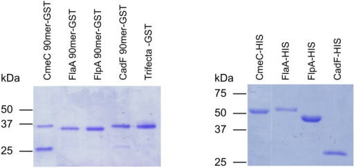 Purified GST- and 6X His-tagged proteins.Purified protein extracts were separated in SDS–12.5% polyacrylamide gels and stained with Coomassie Brilliant Blue R-250. The molecular mass of the protein standards are listed in kDa.
