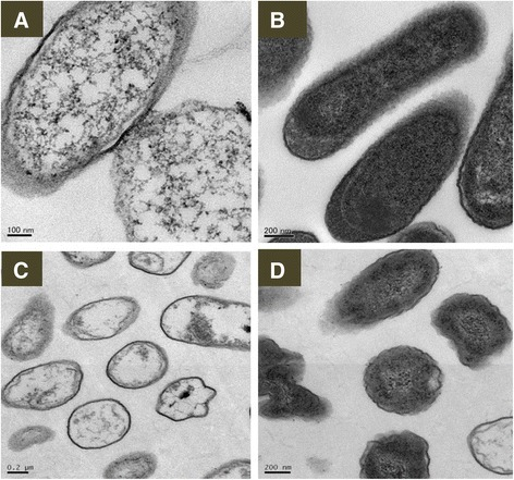 Representative TEM images of morphology and structure ofE. coliandP. aeruginosa. (A)E. coli treated with Ag NPs; (B) normal E. coli; (C)P. aeruginosa treated with Ag NPs; (D) normal P. aeruginosa. Exposure to Ag NPs resulted in damage to the structure of bacterial cell membranes, condensed DNA, and coagulated cytoplasmic components. Normal bacterial cells were smooth, exhibiting intact surfaces and undamaged structures of inner membranes. Scale bars are as indicated.