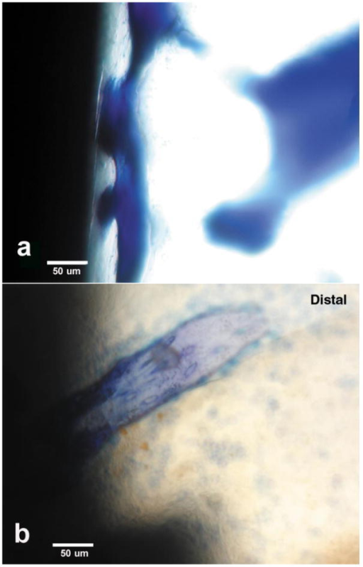 Toluidine blue stain osseointegration for lateral implant sections at 20×magnifications (a) Coordinated epoxy/carbon fiber osseointegration(b) Isolated titanium-6Al-4V osseointegration.