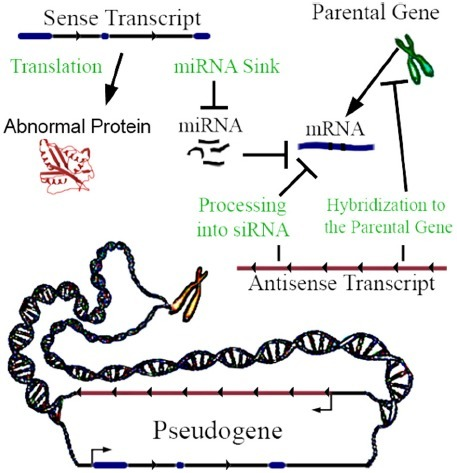 Pseudogene Functional Mechanisms In This Example A Th Open I