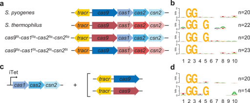 Cas9 determines the PAM sequence of acquired spacersa, c, Genetic composition of the CRISPR-Cas loci tested for spacer during phage infection (a), or in the absence of infection, with the experimental set up shown in Fig. S4 (c). b, d, Sequence logos obtained after the alignment of the 3' flanking sequences of the protospacers matched by the newly acquired spacers in panels a and c, respectively. Numbers indicate the positions of the flanking nucleotides downstream from the spacer. n; number of sequences used in each alignment.