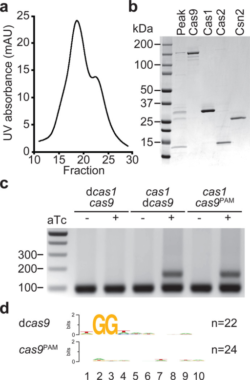 Cas9Sp PAM recognition domain is required for the acquisition of spacers with an NGG PAM sequencea, Separation of the Cas9-Cas1-Cas2-Csn2 complex by ion exchange chromatography. b, SDS-PAGE of fraction 19 (peak) from the complex elution shown in panel a, representative of five technical replicates. The four proteins of the complex were individually purified and run alongside the purified fraction to identify each protein in the complex. c, Spacer acquisition was tested as in Fig. 1c in the presence or absence of different Cas1 or Cas9 activities. Image is representative of eight technical replicates. dCas1, nuclease-dead Cas1 (E220A mutation); dCas9, nuclease-dead Cas9 (D10A, H840A mutations); Cas9PAM lacks the PAM recognition function (R1333Q, R1335Q mutations). d, Sequence logos obtained after the alignment of the 3' flanking sequences of the protospacers matched by the newly acquired spacers in panel c. Numbers indicate the positions of the flanking nucleotides downstream from the spacer. n; number of sequences used in each alignment.